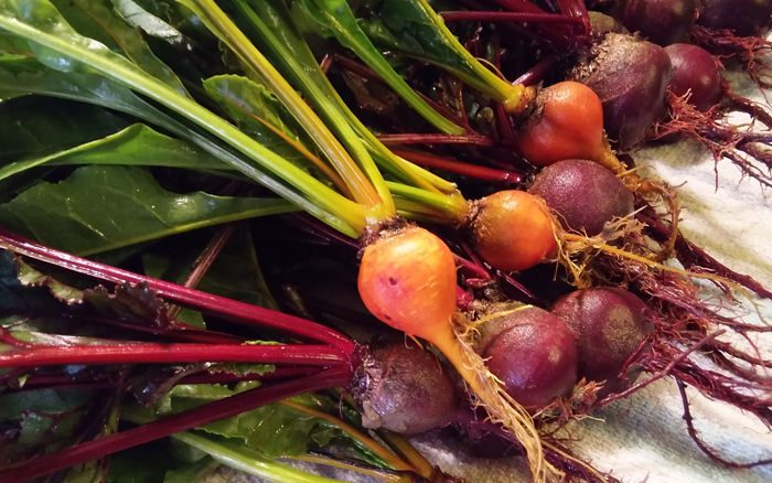 Close up of beets fresh from the garden. Greens and roots still in tact.